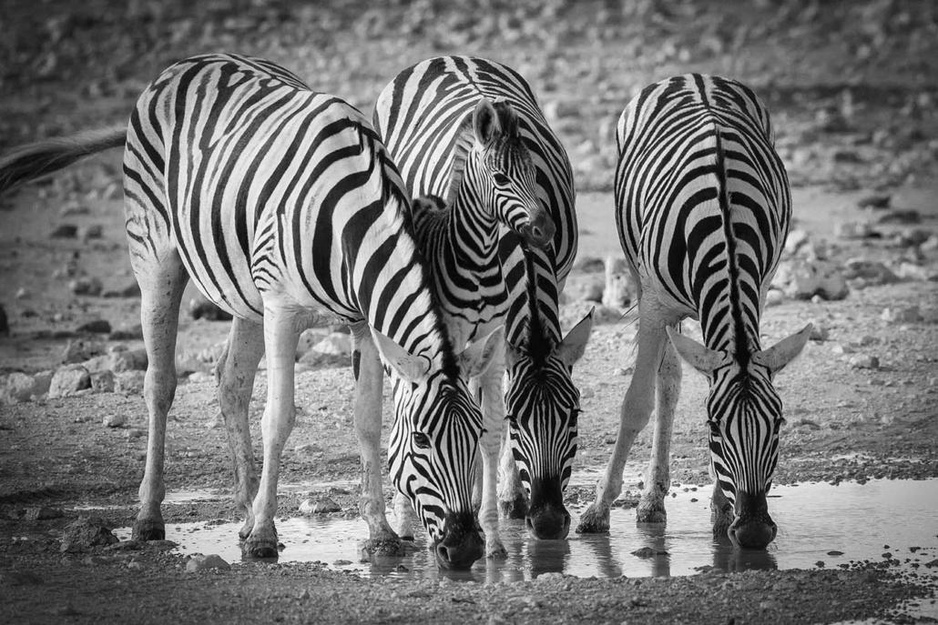 Namibia Zebras