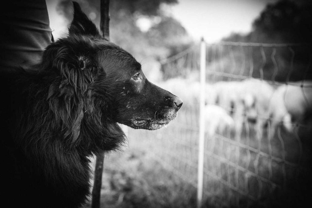 Reportagefotografie Schäferhund