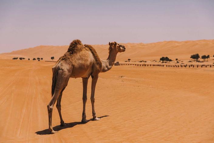 Kamel in der Wüste
