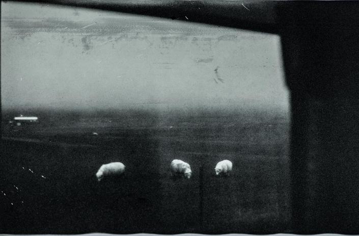 Polapan35 Schafe